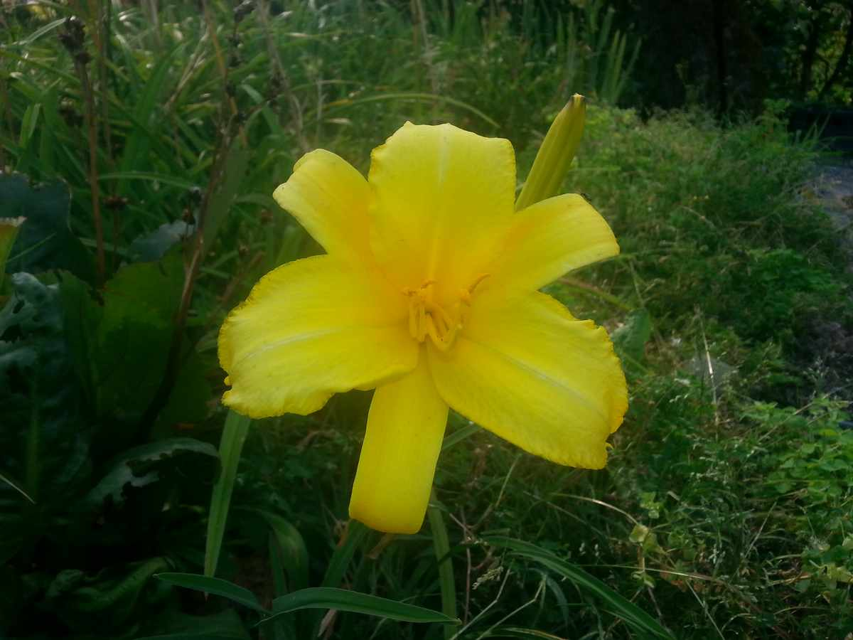 Hemerocallis Hybrido Mary Todd