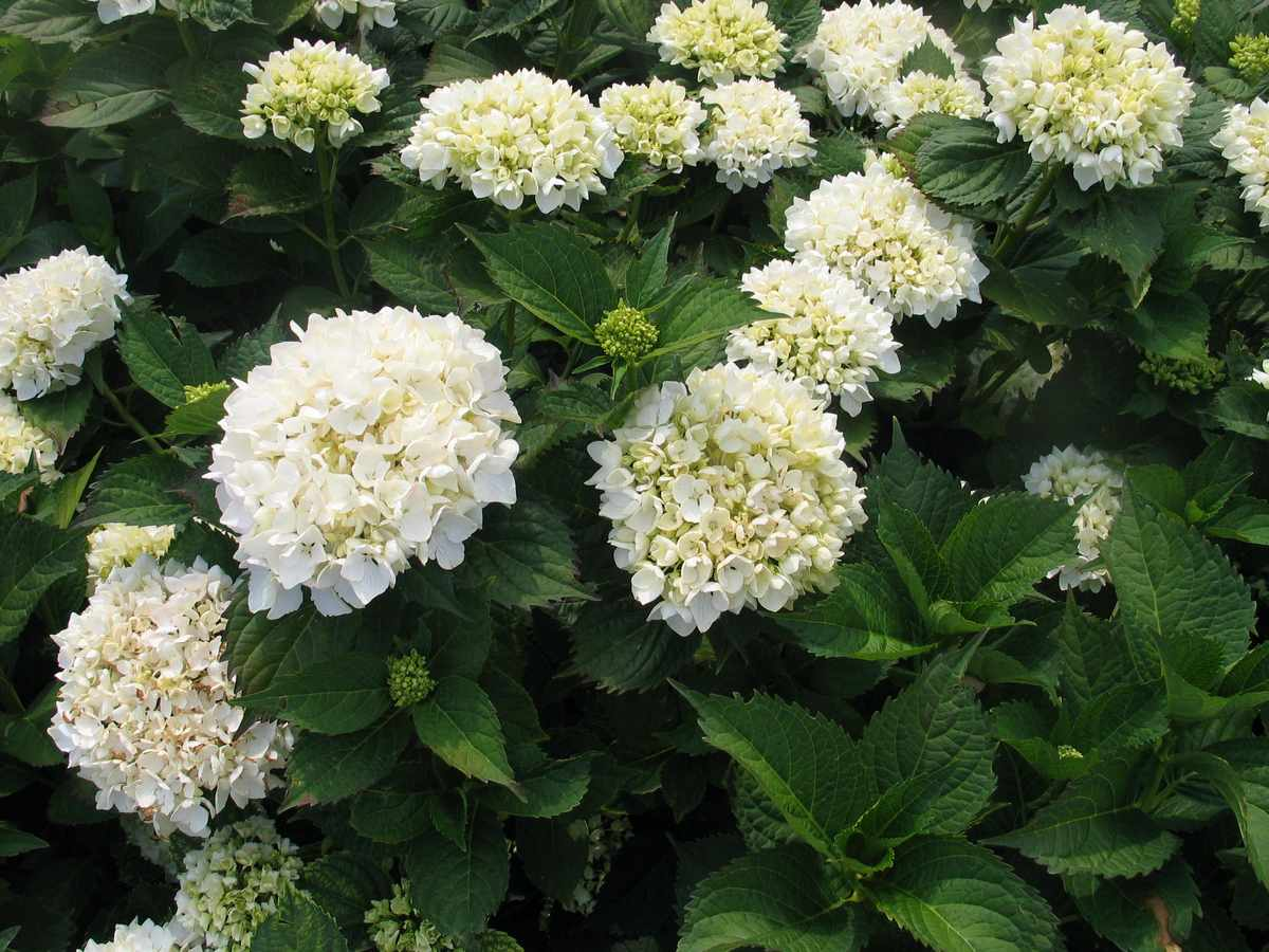 hydrangea hortensis Soeur Therese