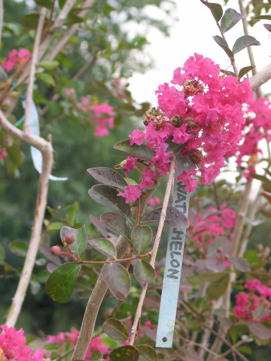Lagerstroemia Indica Water Melon