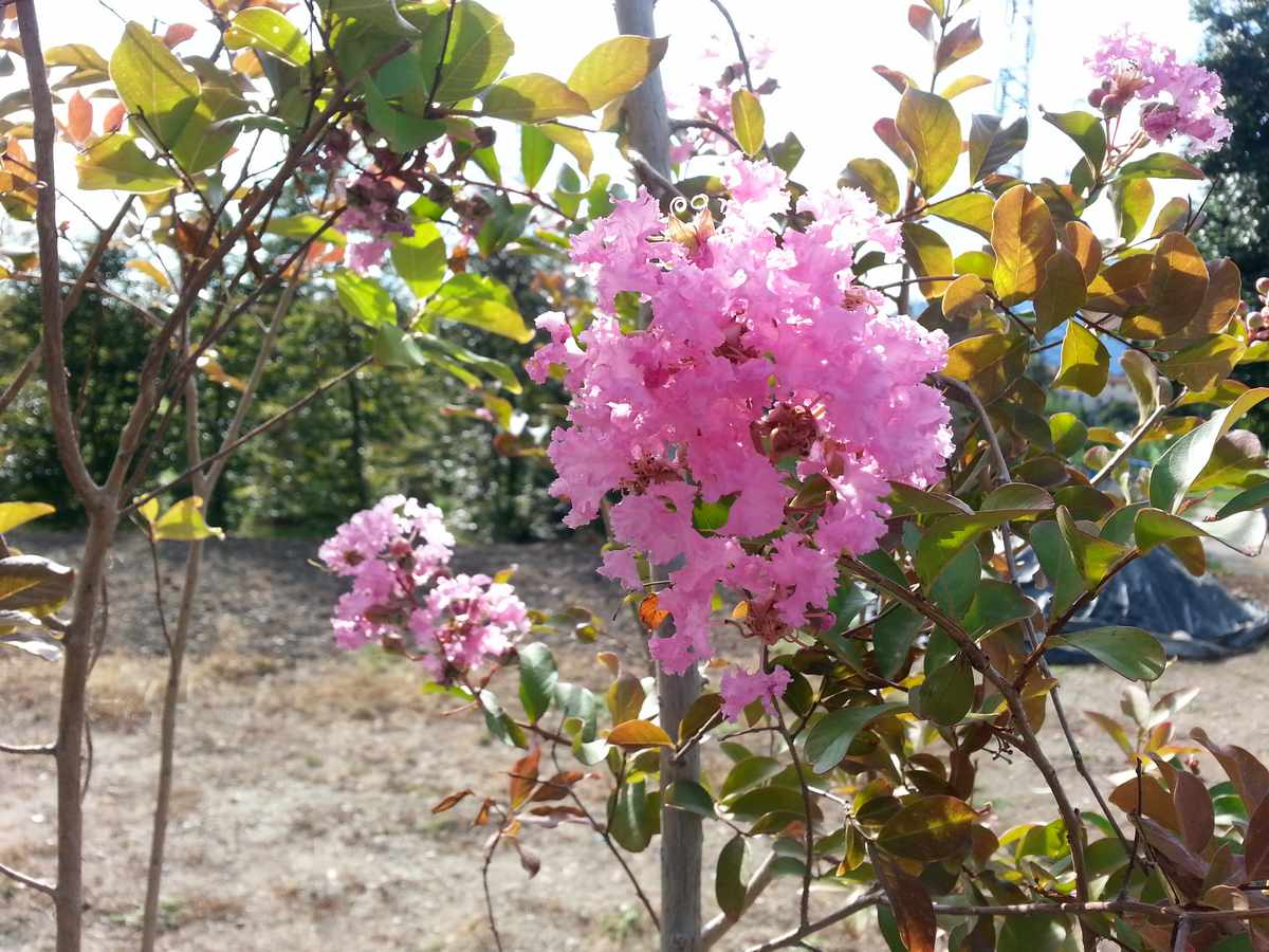Lagerstroemia indica  Pink