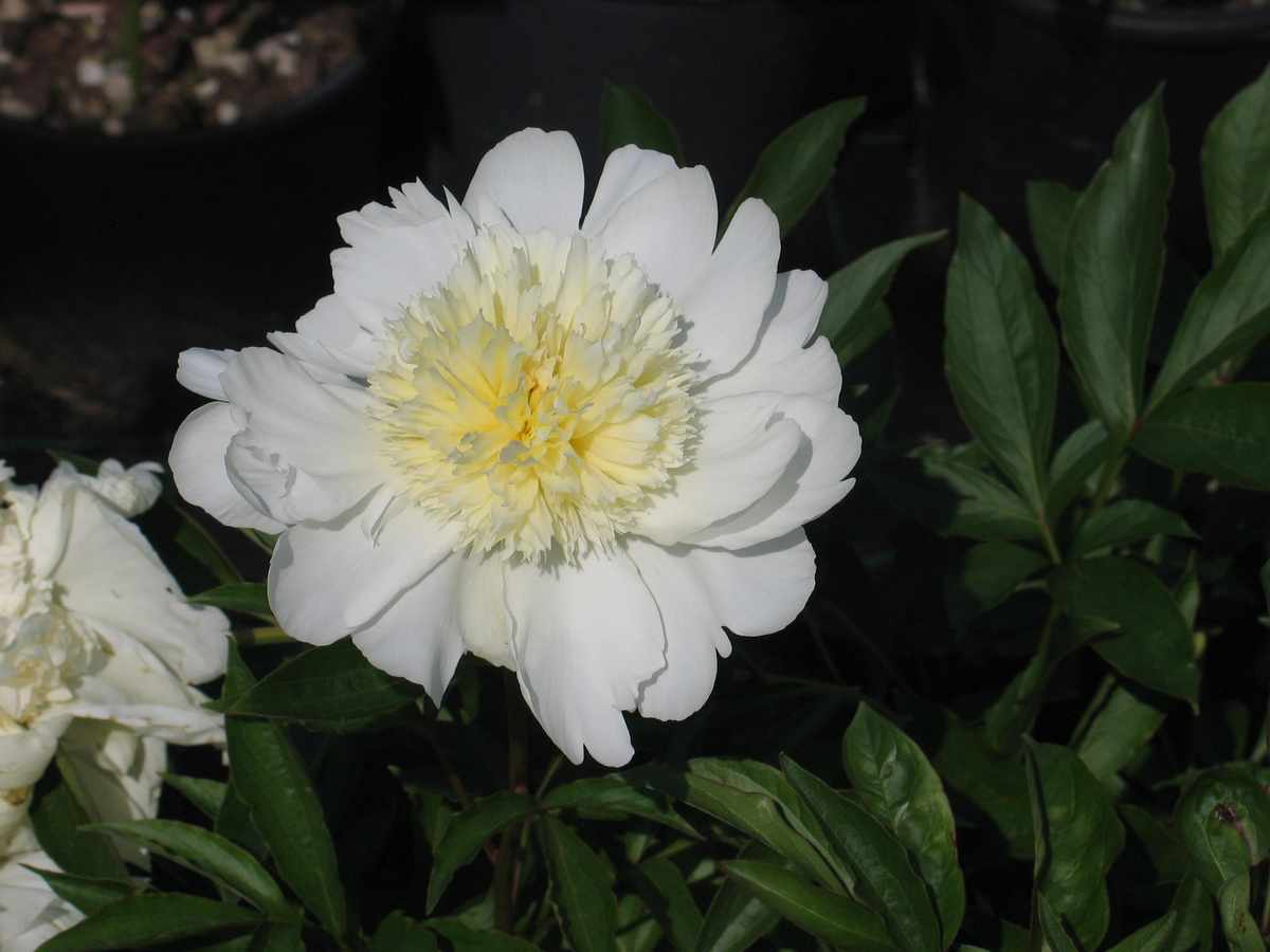 Peonia Honey Gold