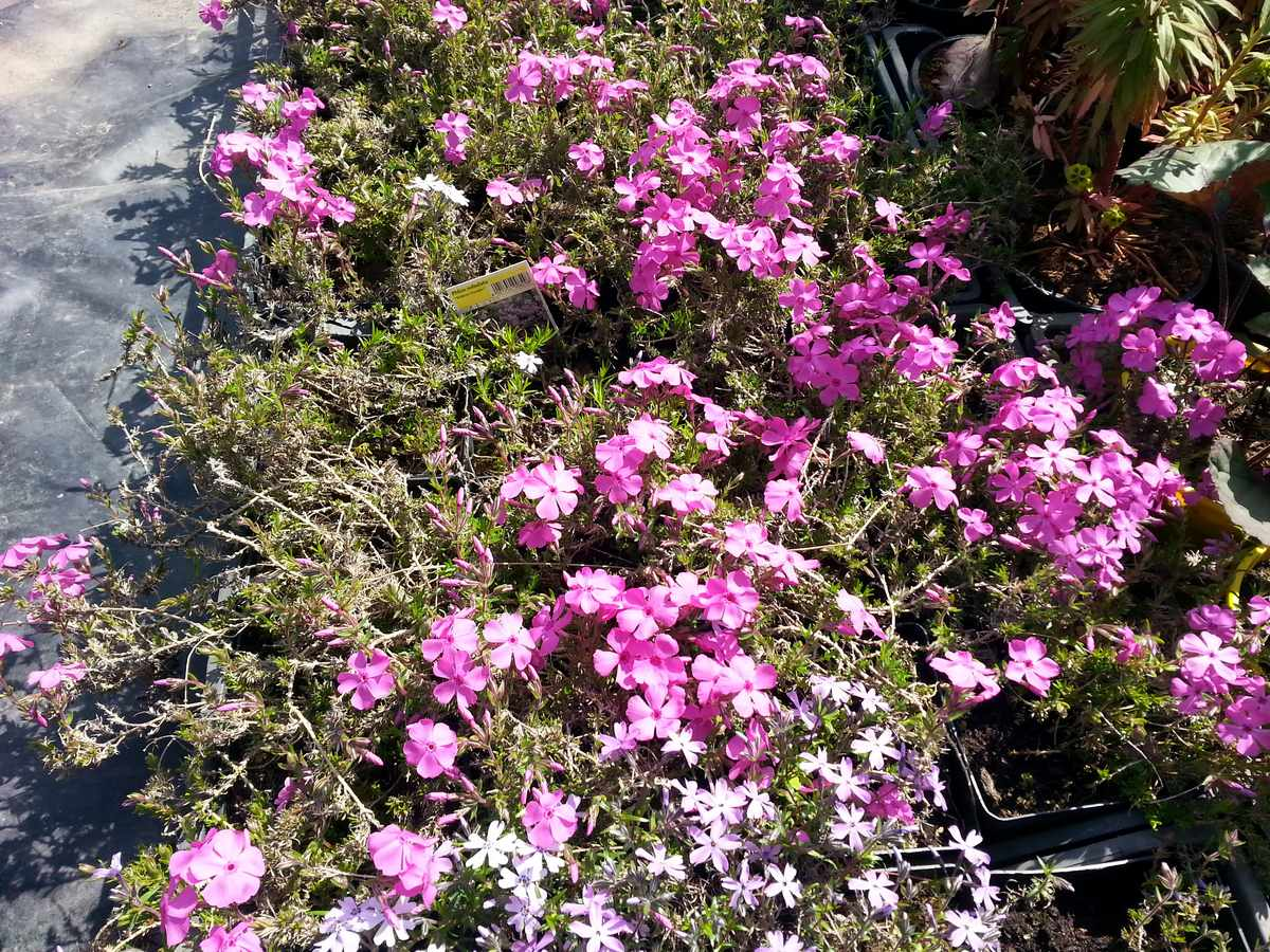 Phlox Subulata Crimson Beauty
